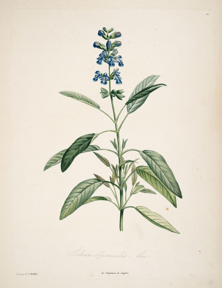 gravures_botanique_Rousseau_-_153_salvia_officinalis_-_sauge_officinale